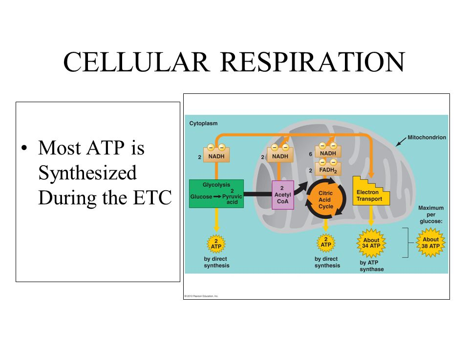 CELLULAR RESPIRATION Most ATP is Synthesized During the ETC