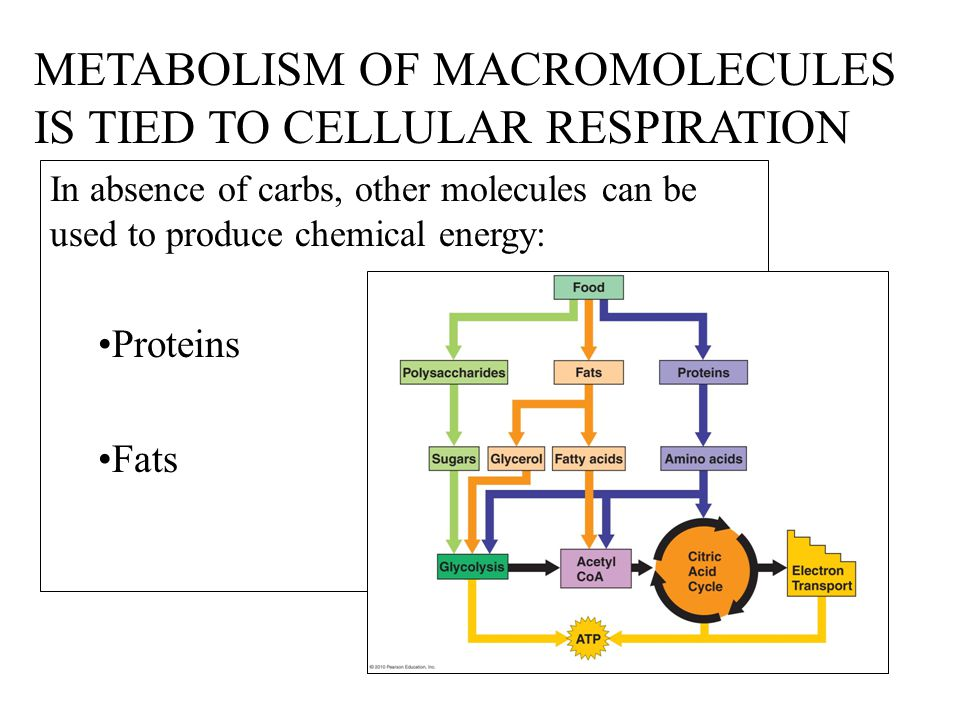 METABOLISM OF MACROMOLECULES IS TIED TO CELLULAR RESPIRATION