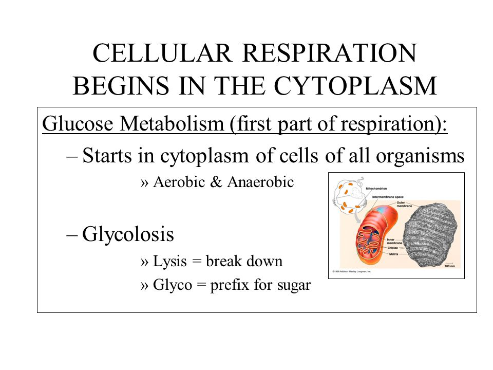 CELLULAR RESPIRATION BEGINS IN THE CYTOPLASM