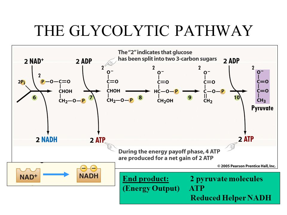 THE GLYCOLYTIC PATHWAY