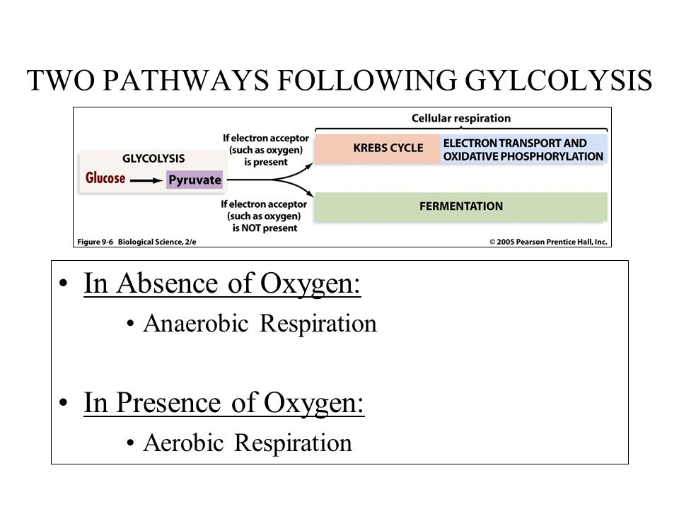 TWO PATHWAYS FOLLOWING GYLCOLYSIS
