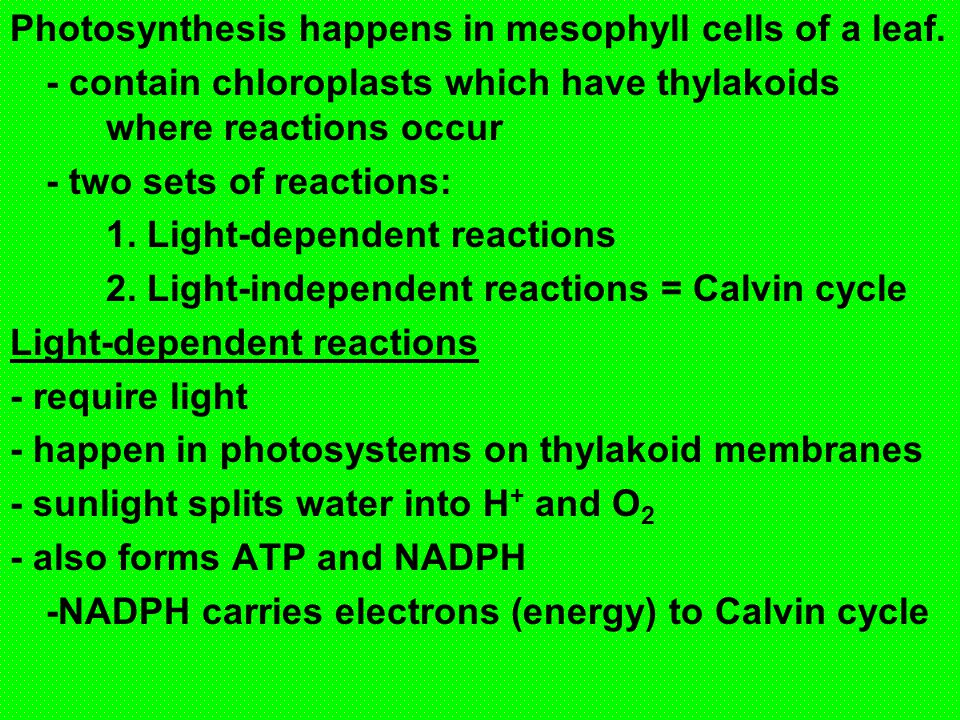 Photosynthesis happens in mesophyll cells of a leaf.