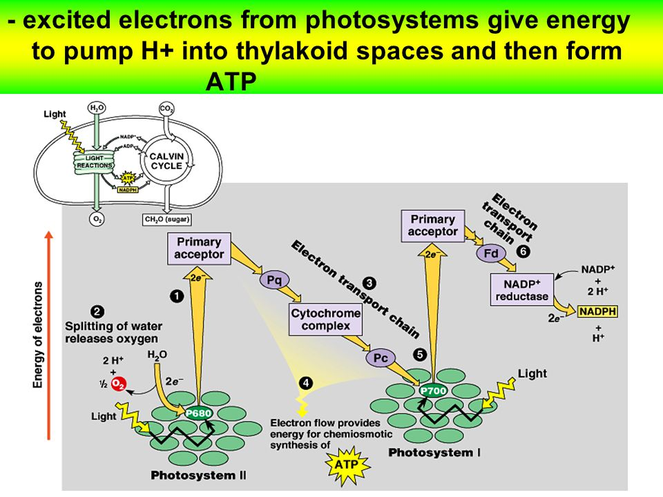 - excited electrons from photosystems give energy to pump H+ into thylakoid spaces and then form ATP