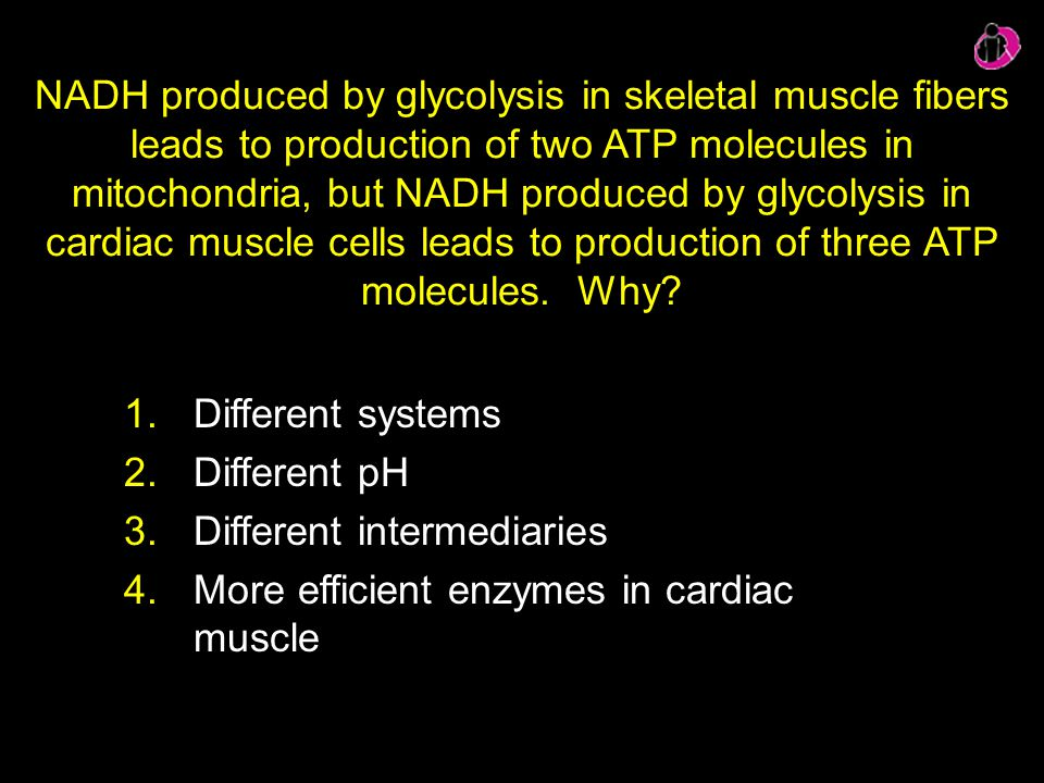 Different intermediaries More efficient enzymes in cardiac muscle