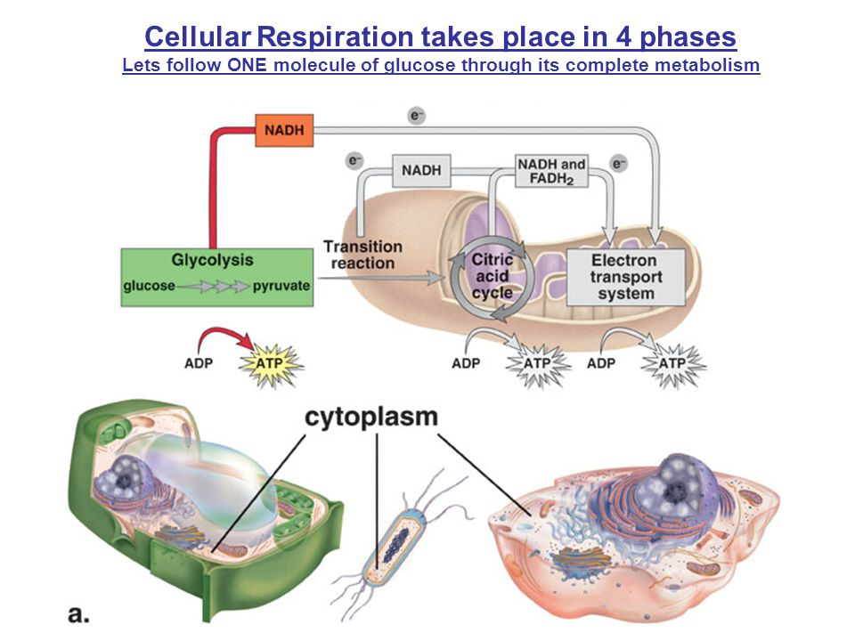 Cellular Respiration takes place in 4 phases