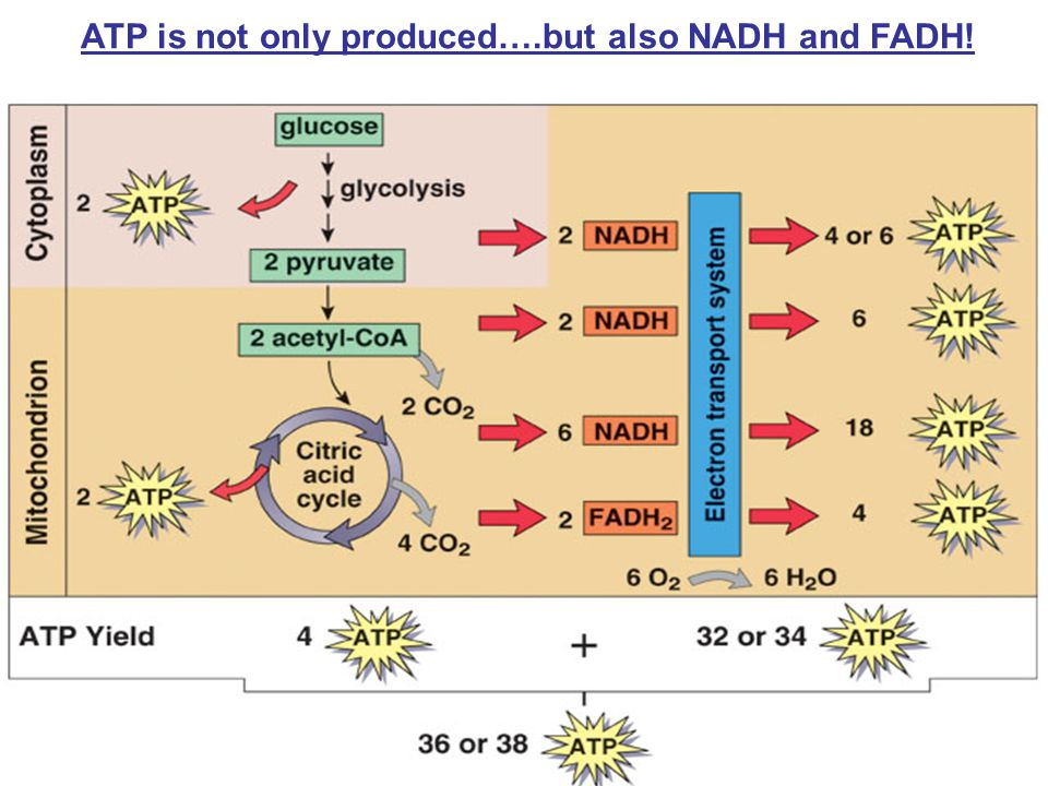 ATP is not only produced….but also NADH and FADH!