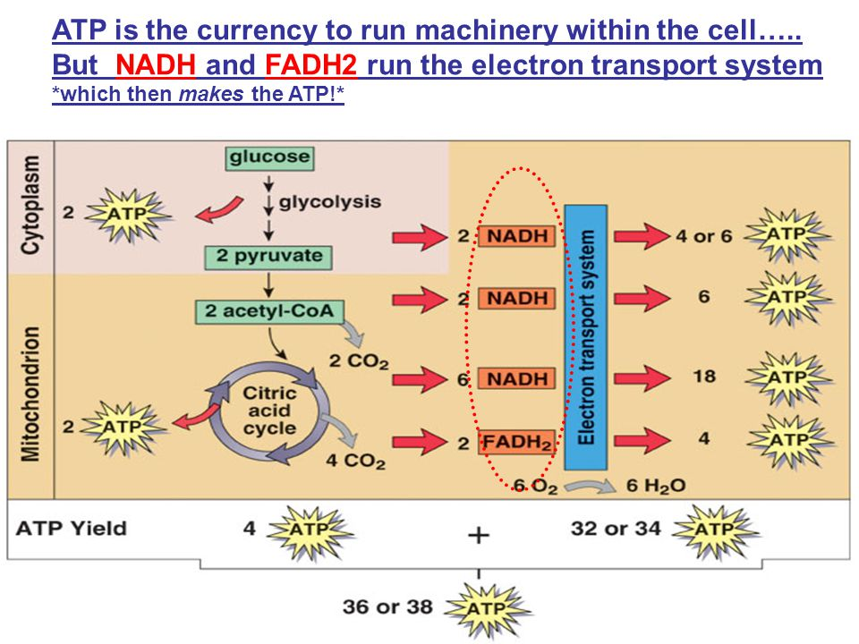 ATP is the currency to run machinery within the cell…..