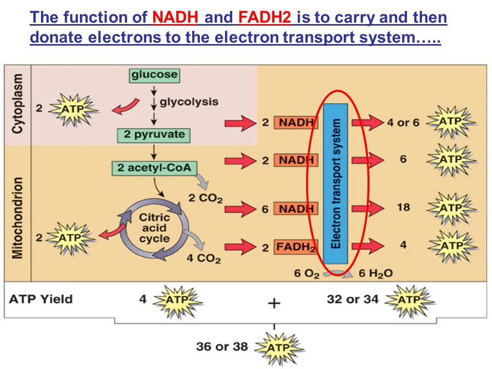 The function of NADH and FADH2 is to carry and then donate electrons to the electron transport system…..