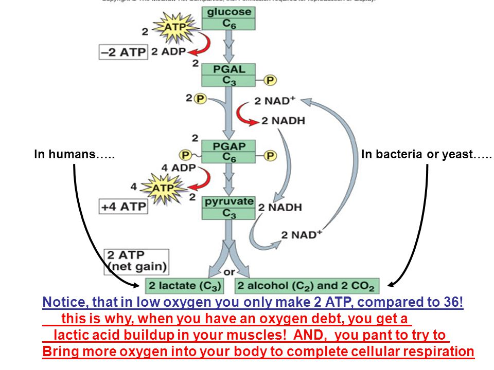 Notice, that in low oxygen you only make 2 ATP, compared to 36!