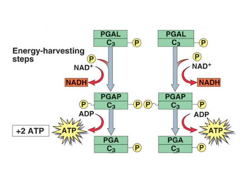 Oxidation and phosphorylation os 2 PGAL results in 2 NADH and 2 high-energy PGAP (1, 3-bisphosphoglycerate) molecules.