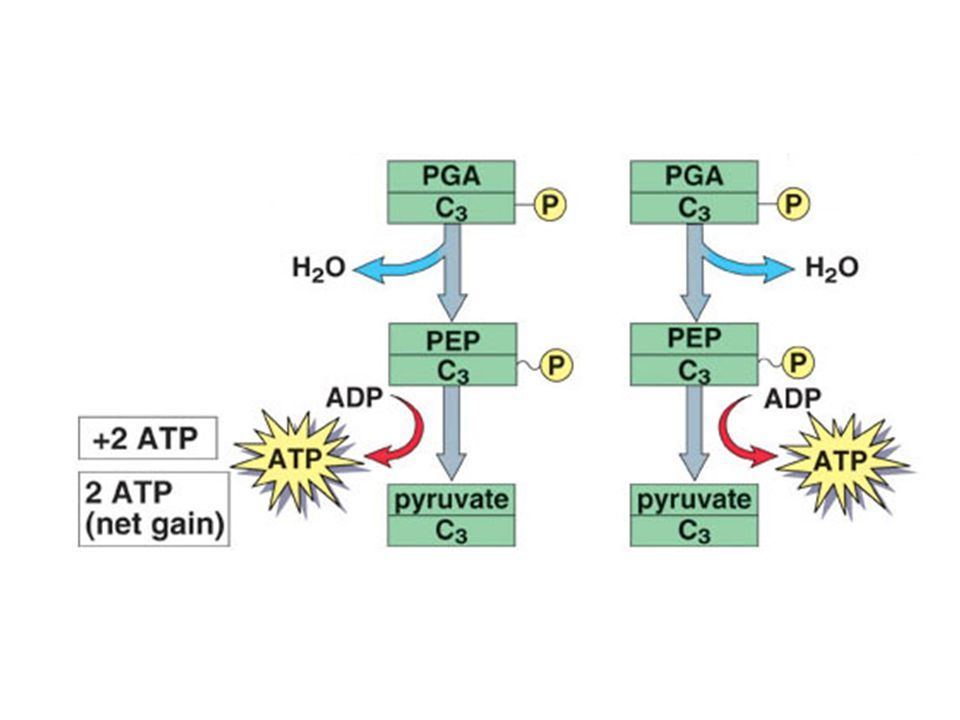 Oxidation of 2 PGA by removal of water results in 2 high-energy PEP (phosphoenolpyruvate) molecules.