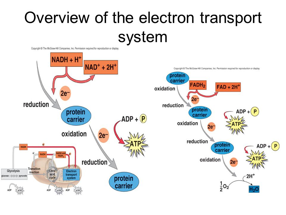 Overview of the electron transport system
