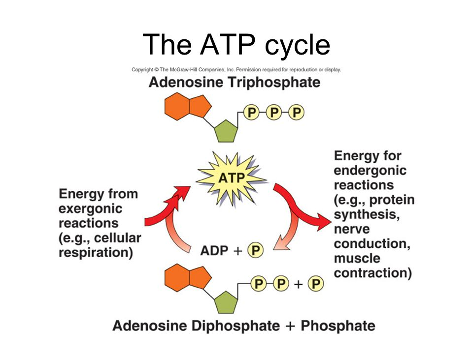 The ATP cycle
