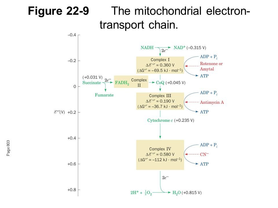 Figure 22-9 The mitochondrial electron-transport chain.