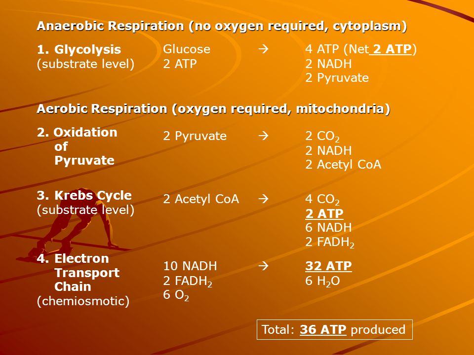 Anaerobic Respiration (no oxygen required, cytoplasm)