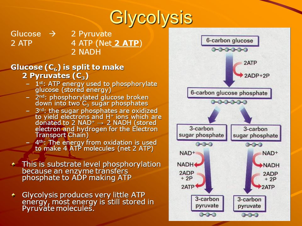 Glycolysis Glucose  2 Pyruvate 2 ATP 4 ATP (Net 2 ATP) 2 NADH