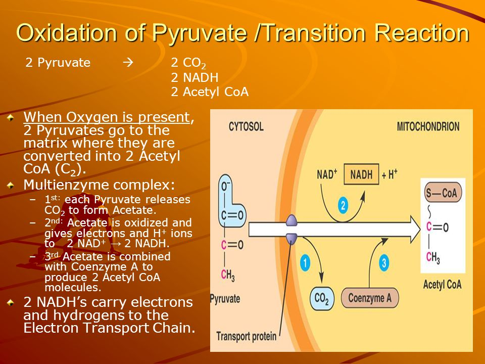 Oxidation of Pyruvate /Transition Reaction