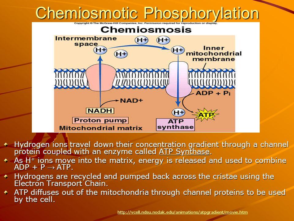 Chemiosmotic Phosphorylation