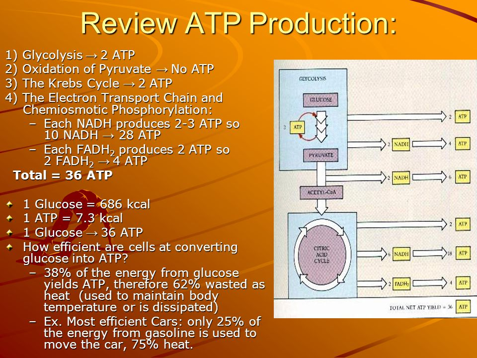 Review ATP Production: