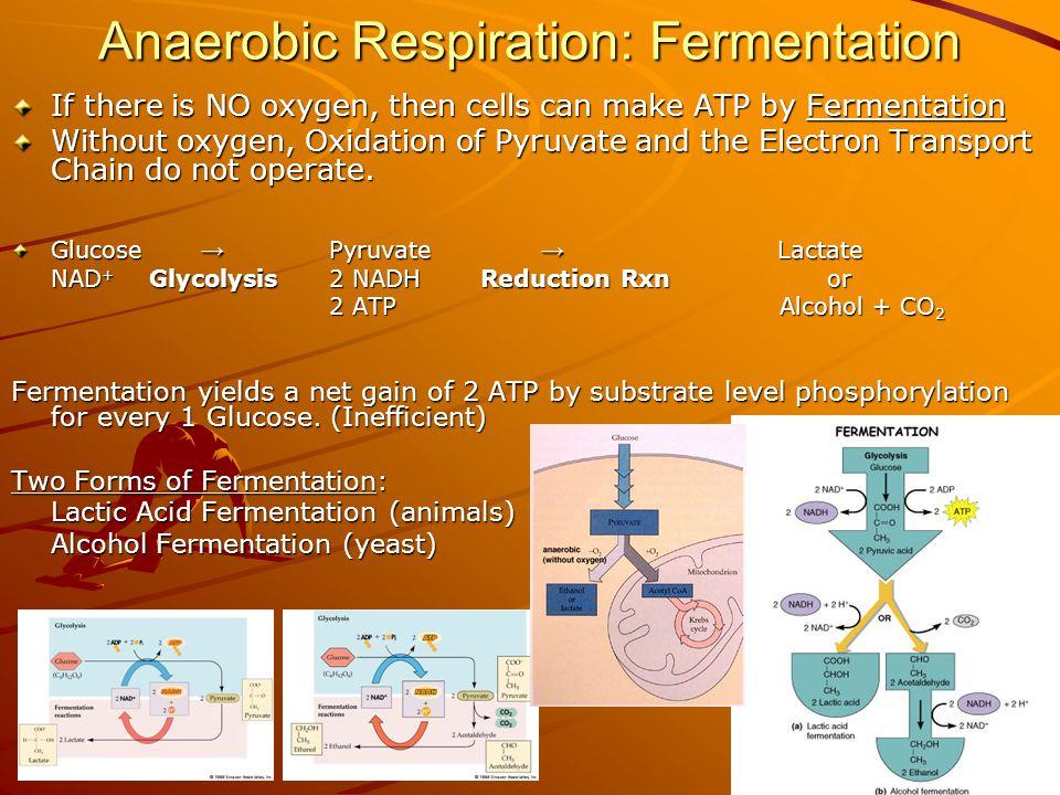 Anaerobic Respiration: Fermentation