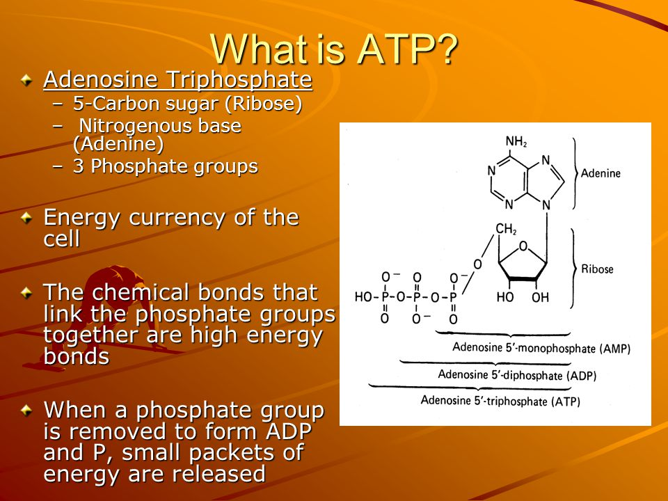 What is ATP Adenosine Triphosphate Energy currency of the cell