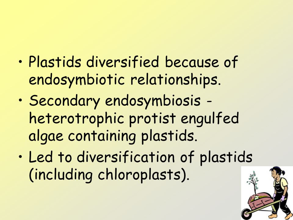 Plastids diversified because of endosymbiotic relationships.