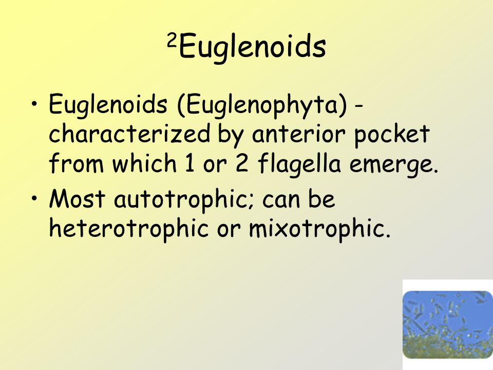 2Euglenoids Euglenoids (Euglenophyta) -characterized by anterior pocket from which 1 or 2 flagella emerge.