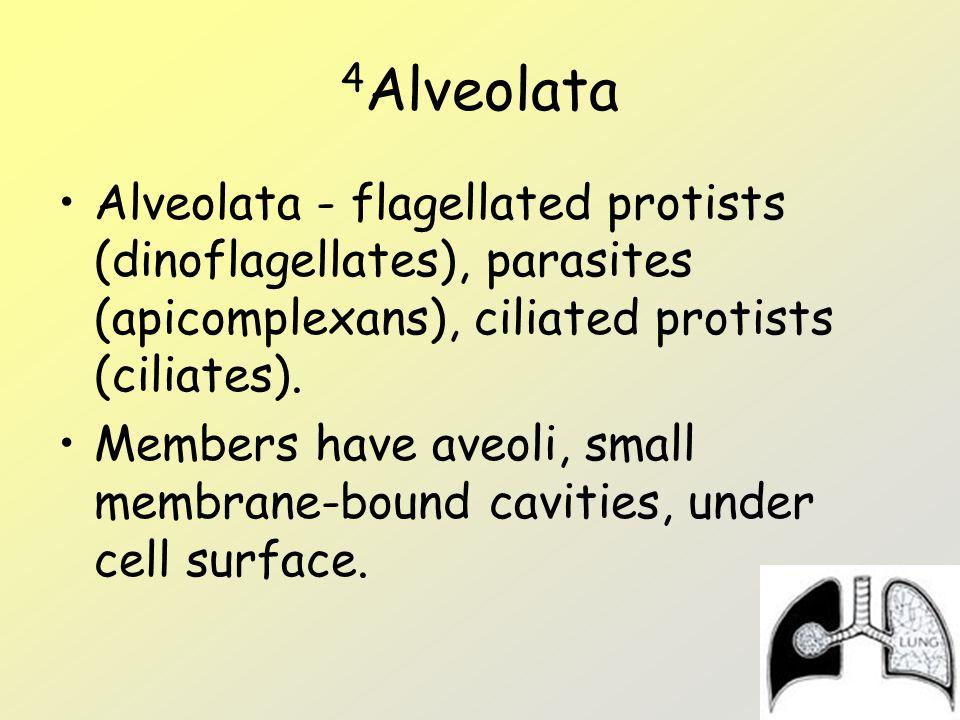 4Alveolata Alveolata - flagellated protists (dinoflagellates), parasites (apicomplexans), ciliated protists (ciliates).