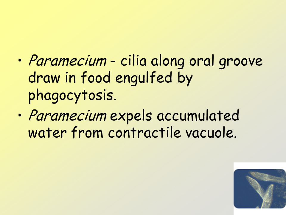 Paramecium - cilia along oral groove draw in food engulfed by phagocytosis.