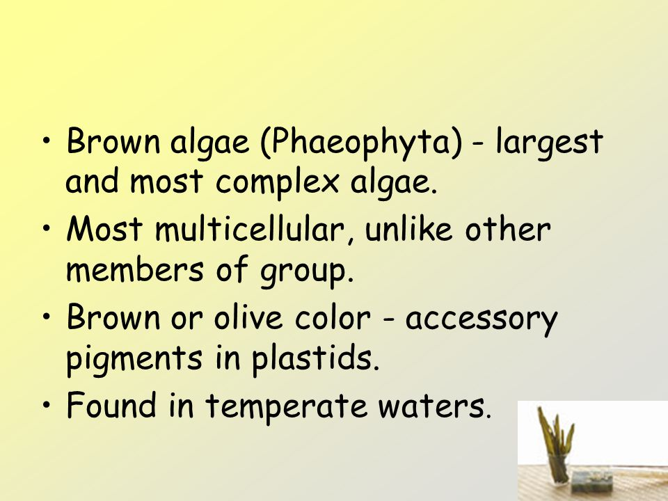 Brown algae (Phaeophyta) - largest and most complex algae.