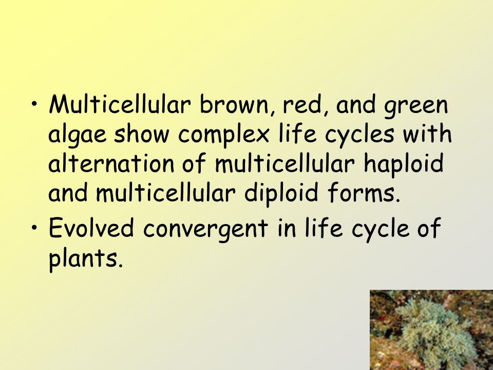 Multicellular brown, red, and green algae show complex life cycles with alternation of multicellular haploid and multicellular diploid forms.