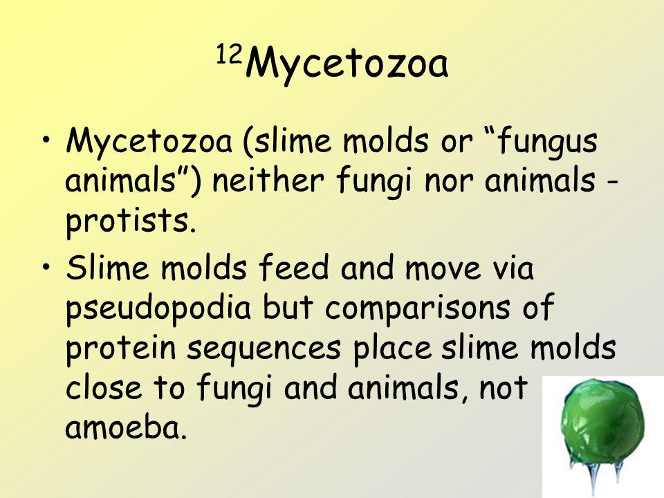 12Mycetozoa Mycetozoa (slime molds or fungus animals ) neither fungi nor animals - protists.