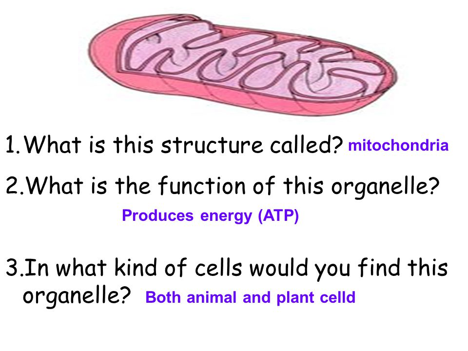 What is this structure called What is the function of this organelle