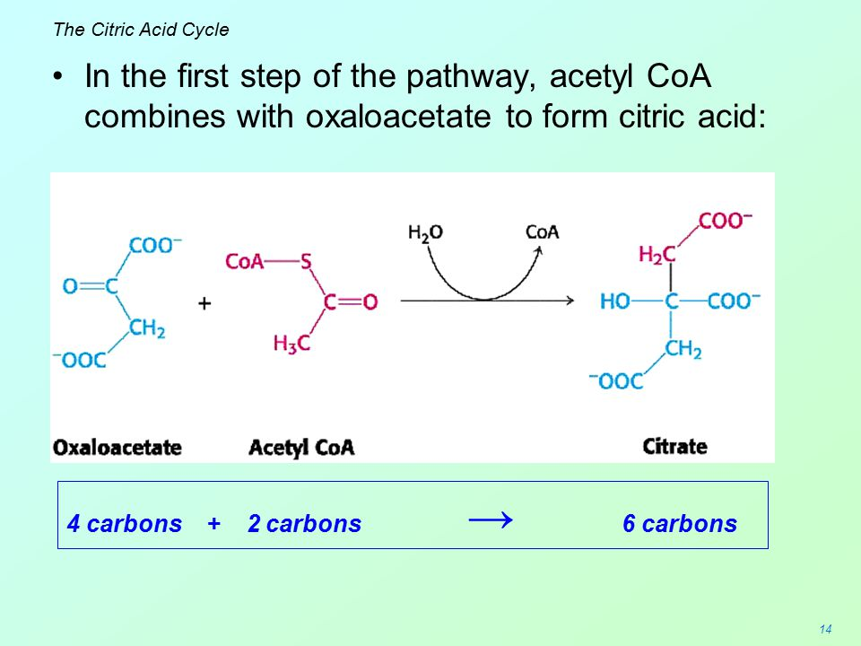 The Citric Acid Cycle In the first step of the pathway, acetyl CoA combines with oxaloacetate to form citric acid: