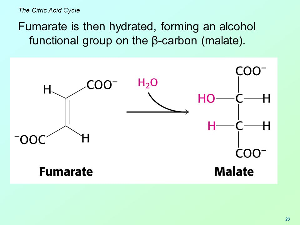The Citric Acid Cycle Fumarate is then hydrated, forming an alcohol functional group on the β-carbon (malate).