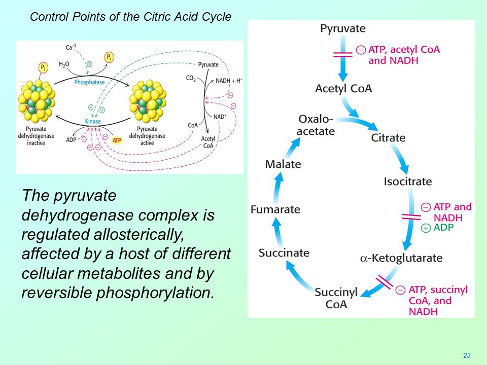 Control Points of the Citric Acid Cycle