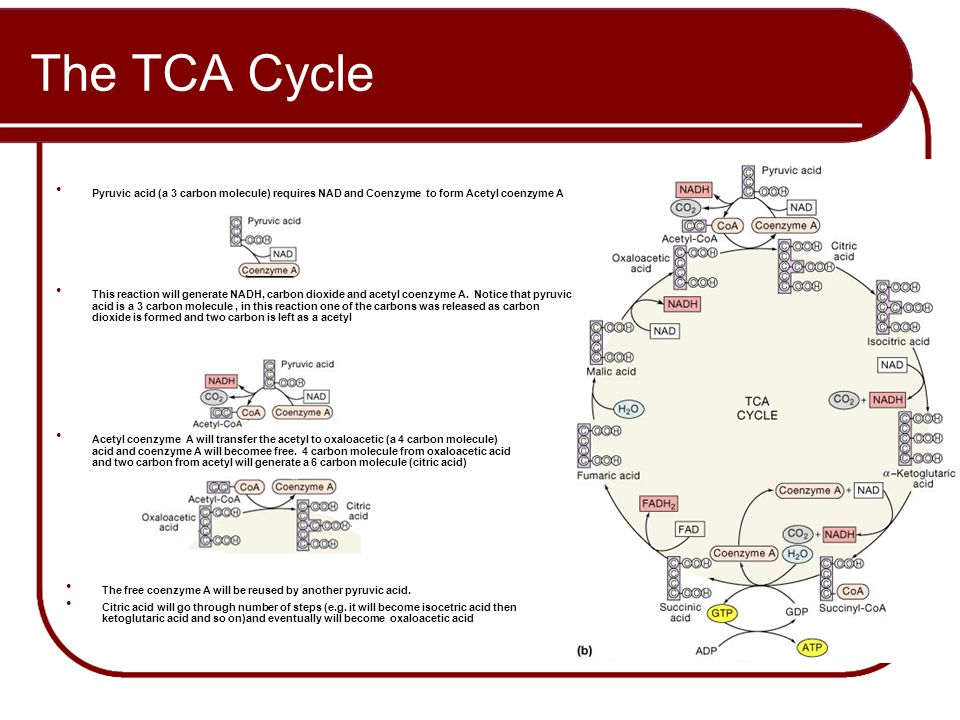 The TCA Cycle Pyruvic acid (a 3 carbon molecule) requires NAD and Coenzyme to form Acetyl coenzyme A.
