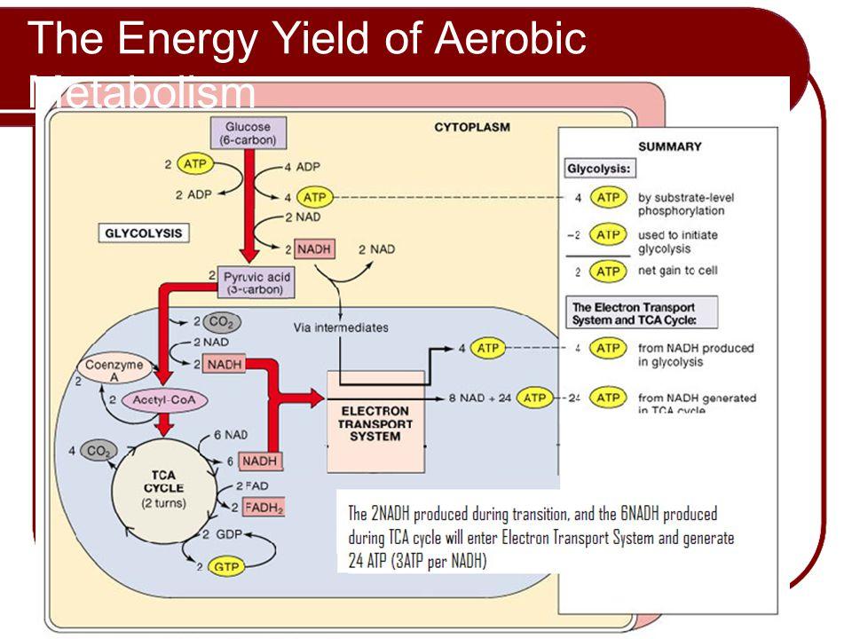 The Energy Yield of Aerobic Metabolism