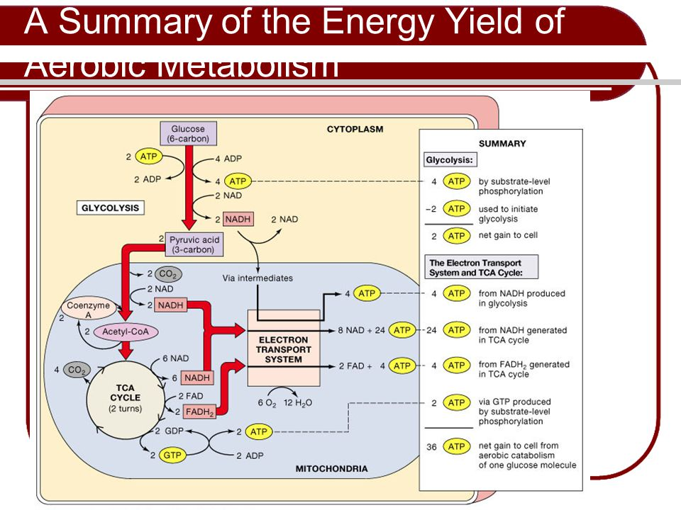 A Summary of the Energy Yield of Aerobic Metabolism