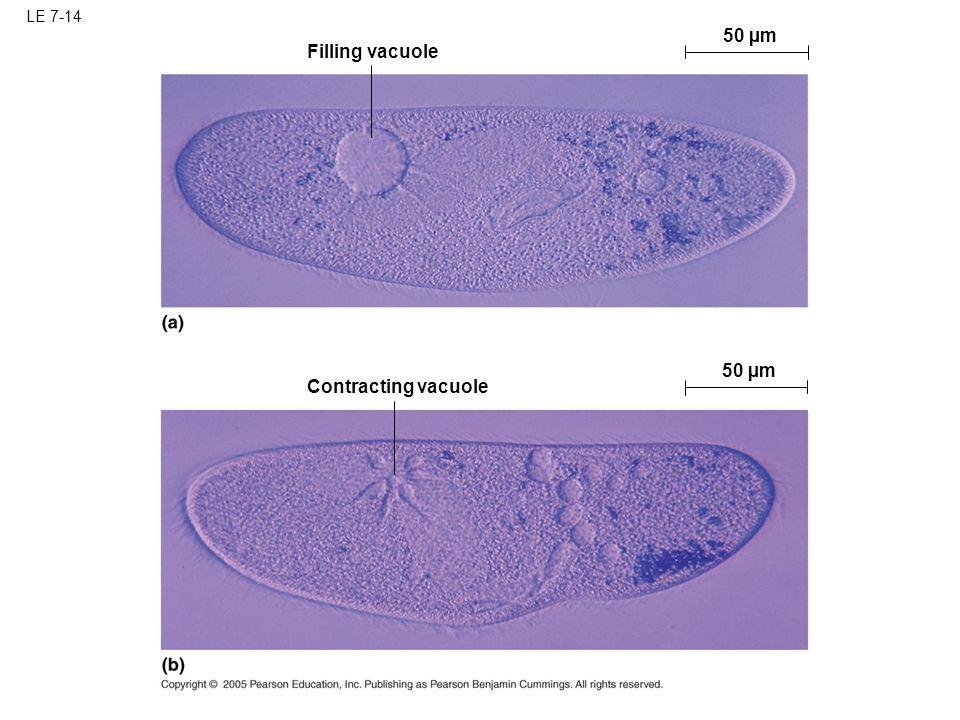 LE 7-14 50 µm Filling vacuole 50 µm Contracting vacuole