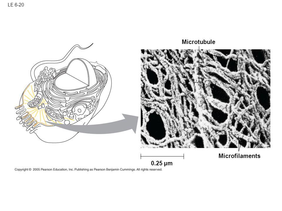 LE 6-20 Microtubule Microfilaments 0.25 µm