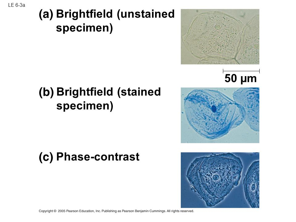 Brightfield (unstained specimen)