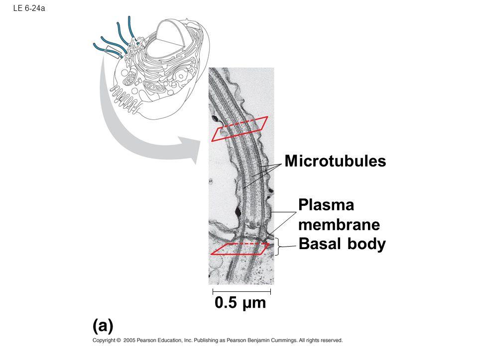 LE 6-24a Microtubules Plasma membrane Basal body 0.5 µm
