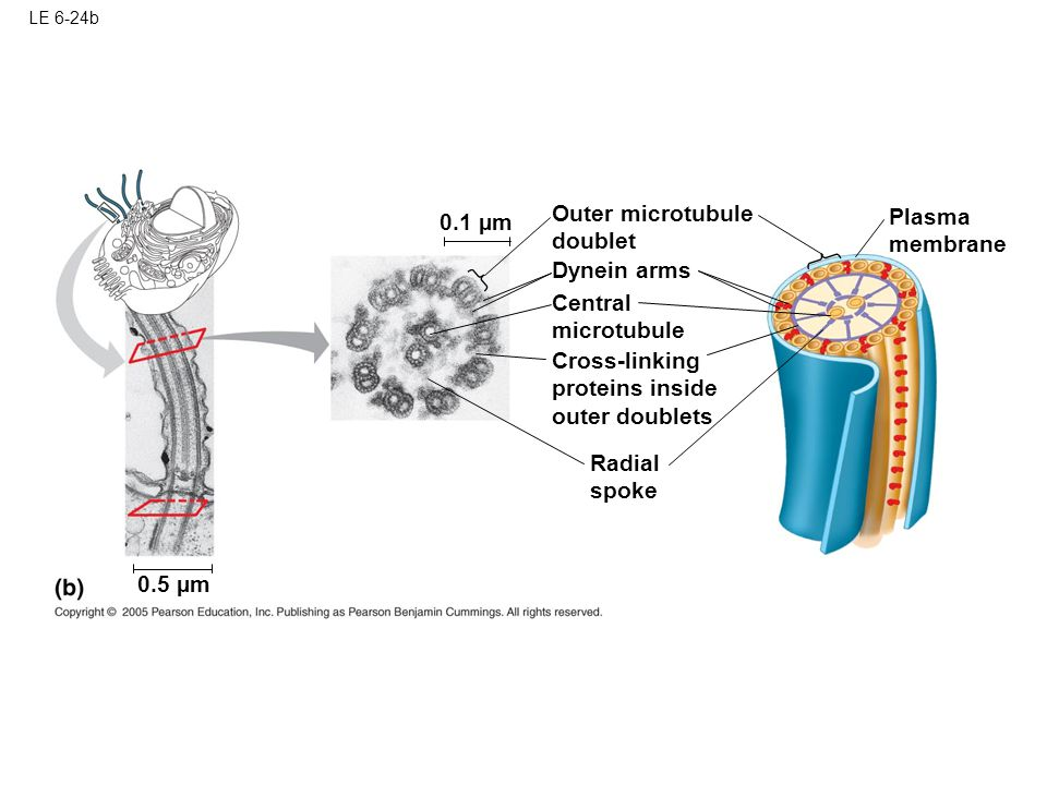 Outer microtubule Plasma 0.1 µm doublet membrane Dynein arms Central