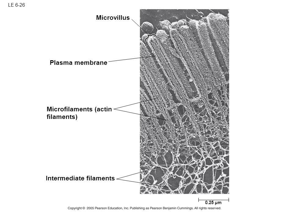 Microfilaments (actin filaments)