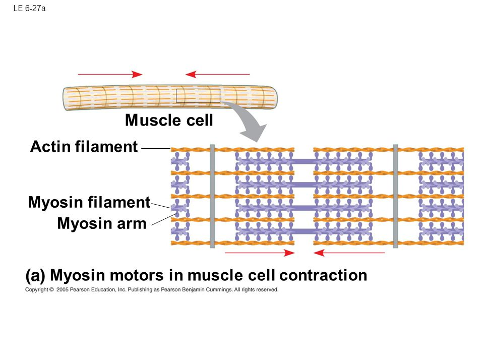 Muscle cell Actin filament Myosin filament Myosin arm
