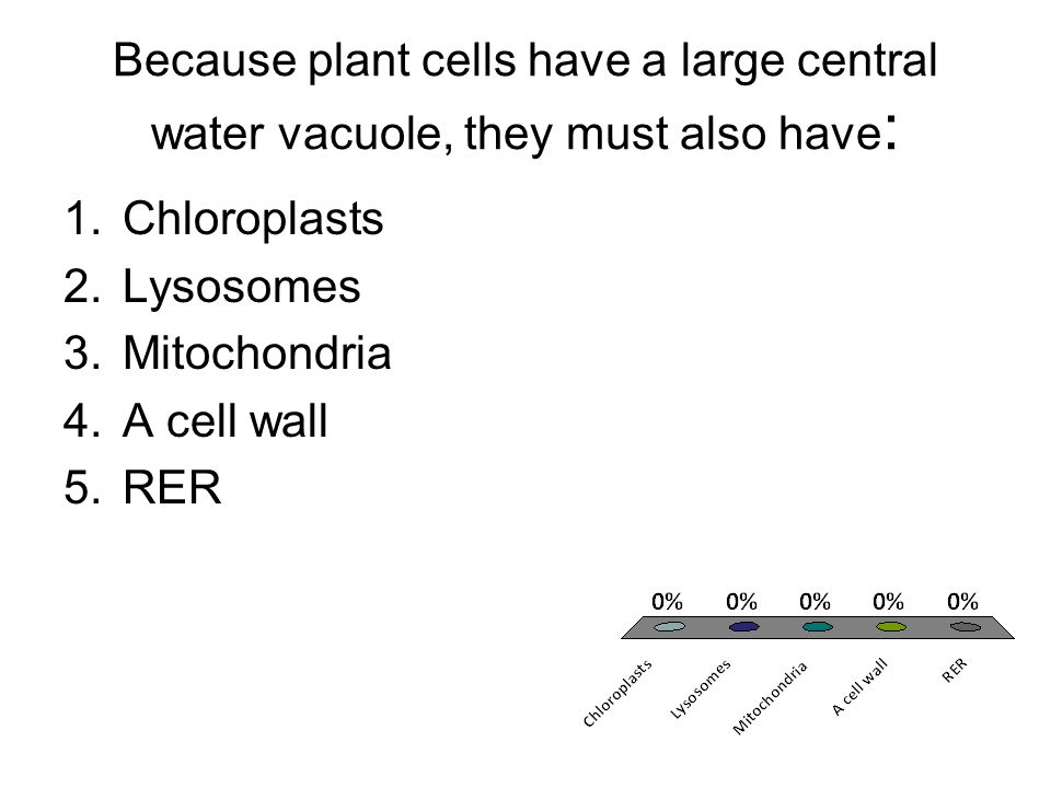Because plant cells have a large central water vacuole, they must also have: