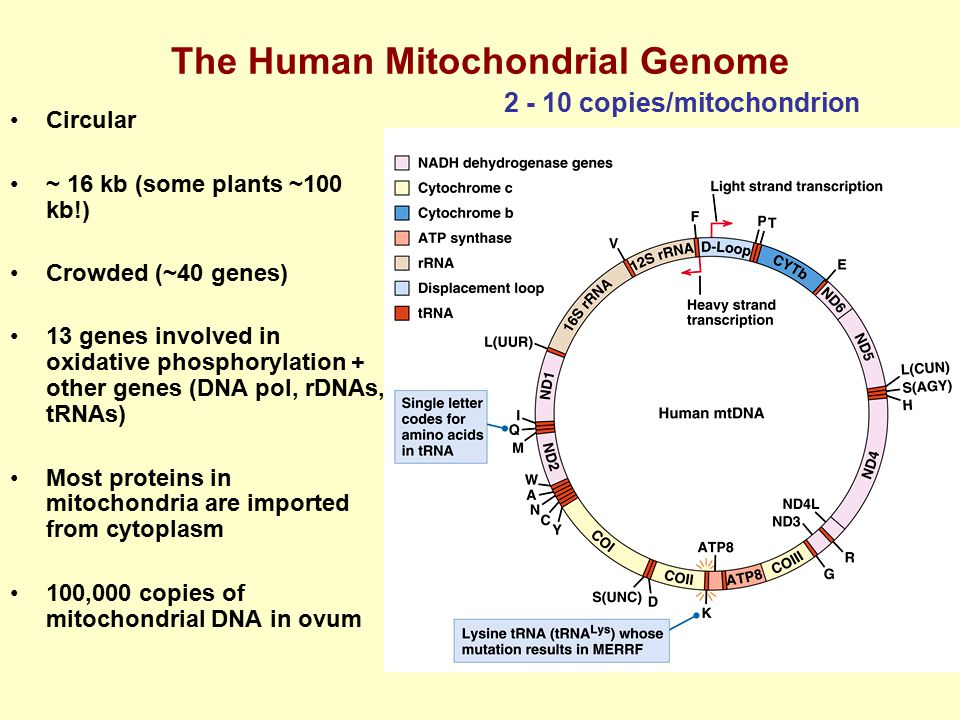 The Human Mitochondrial Genome