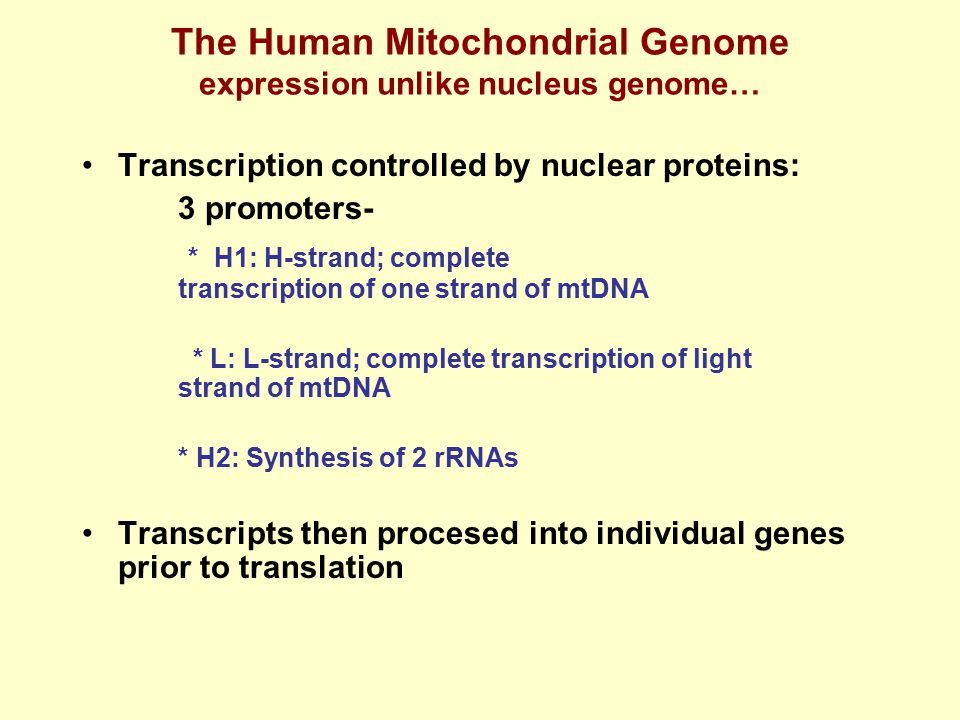 The Human Mitochondrial Genome expression unlike nucleus genome…