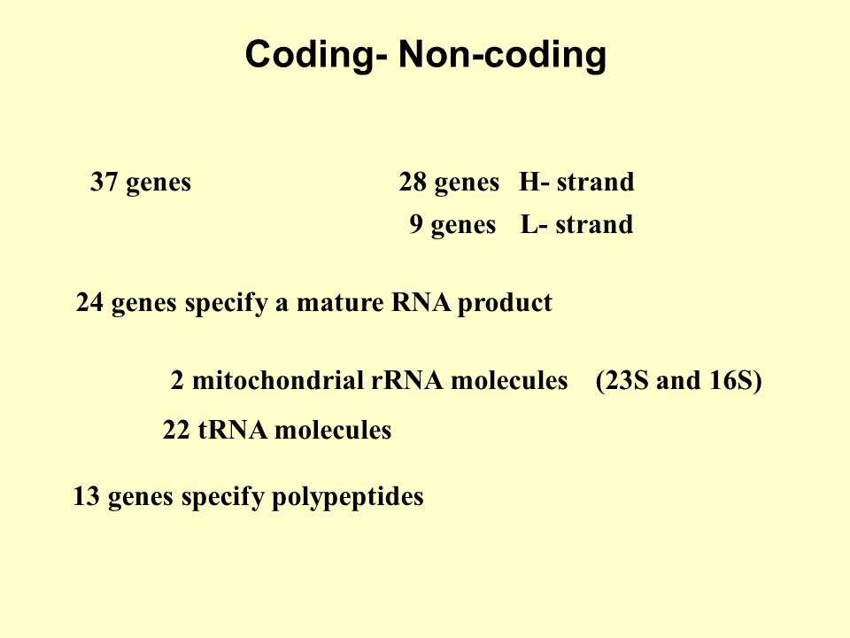 Coding- Non-coding 37 genes 28 genes H- strand 9 genes L- strand